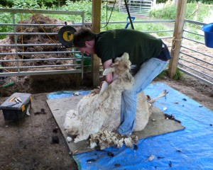 Fleece nad shearing 042