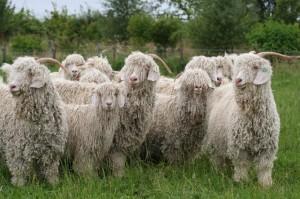 Shearing Angora goats