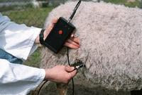 Sheep_Pregnancy__in_use