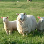 lleyns-ewe-and-lambs