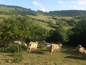 Cotswold Ewes